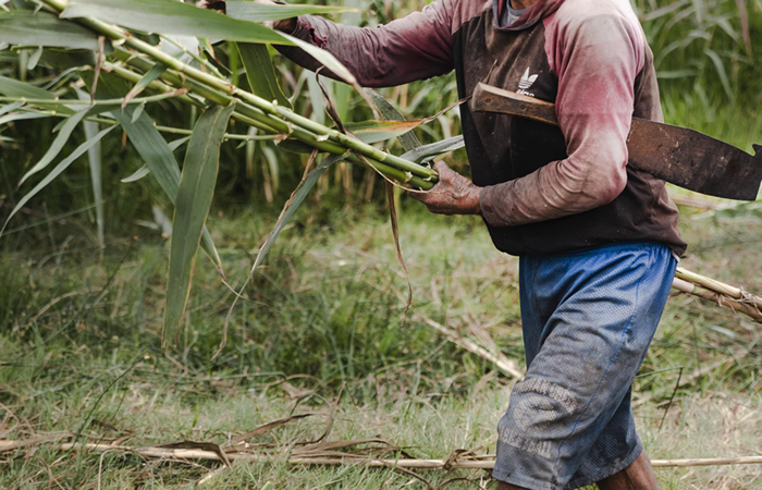 Gathering Sugar Cane for Rum Production